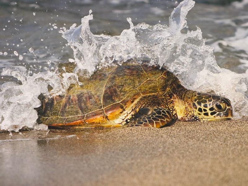 Costa Rica Mietwagen - Wasserschildkröte