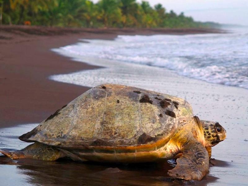 Costa Rica Auto Rundreise - Schildkröte